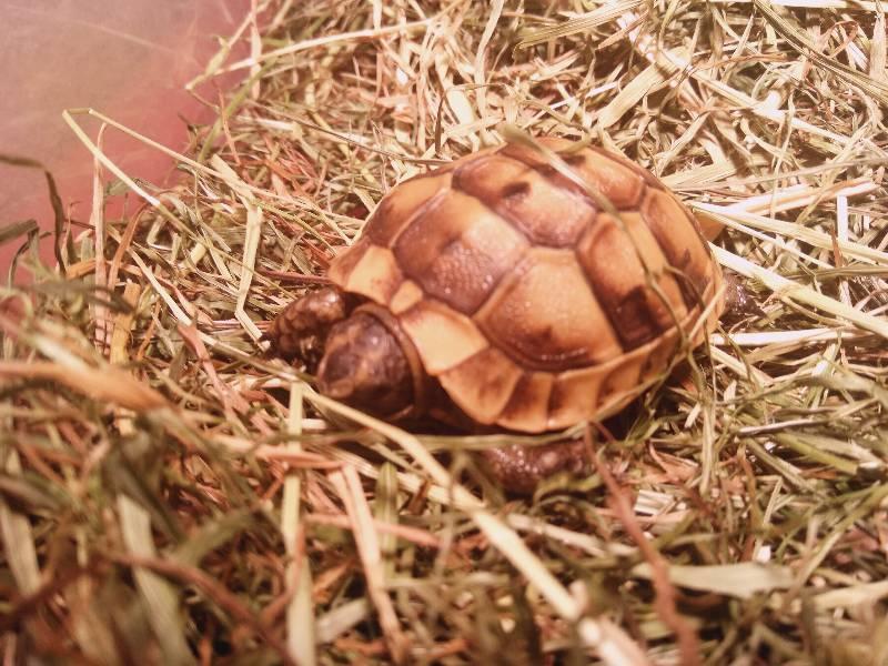 Беременность у черепах и откладка яиц