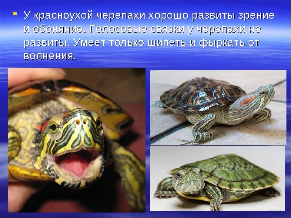 Содержание красноухой черепахи