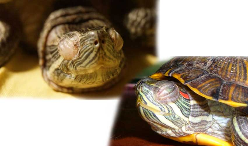 Заболевания красноухих черепах