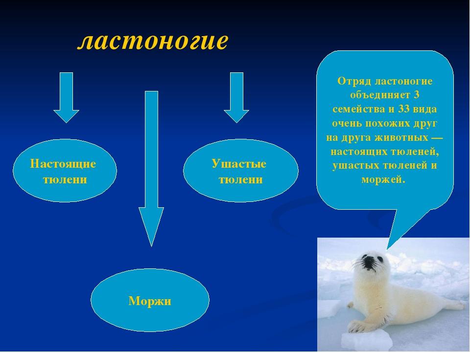 Отряд ластоногие