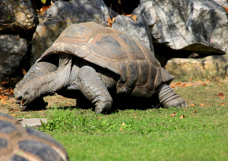 Слоновая черепаха, ее особенности и история