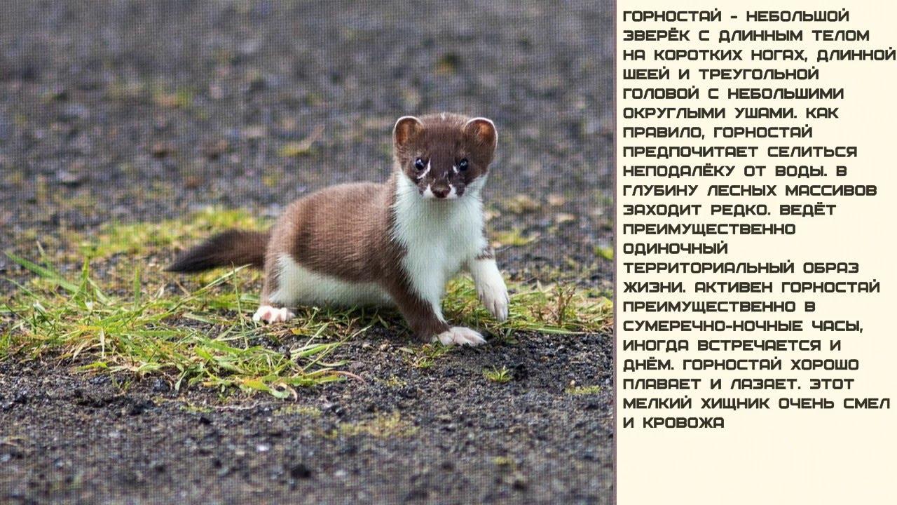 Горностай: описание животного, фото