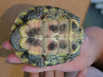 Как проводится лечение пневмонии у красноухих черепах?