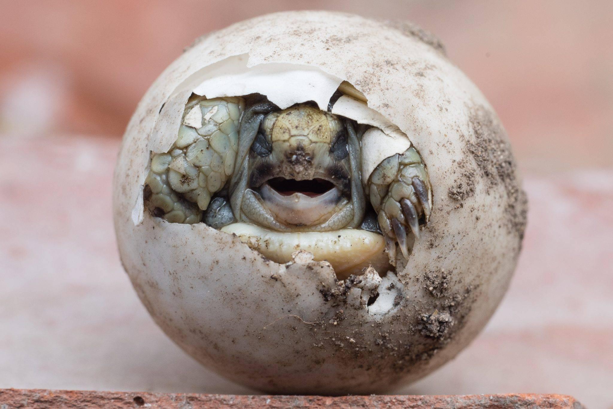 Тактика для размножения улиток ахатин и ухода за яйцами