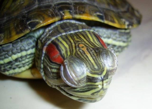 Болезни красноухой черепахи: лечение и симптомы