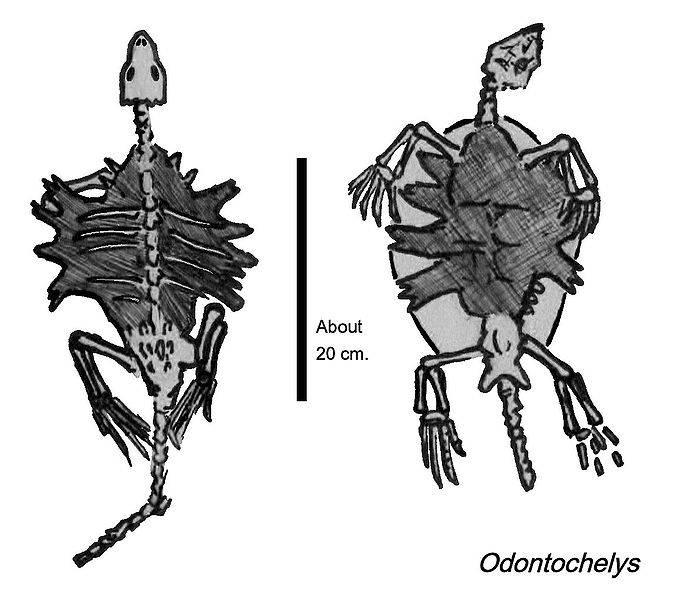 Одонтоглоссум – орхидея-аристократ с бархатистым шармом