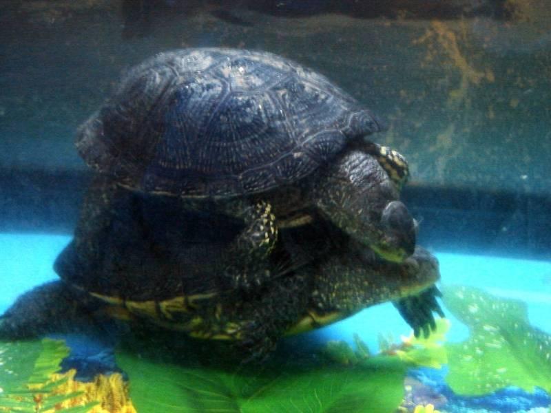 Европейская болотная черепаха: описание, содержание и уход в домашних условиях