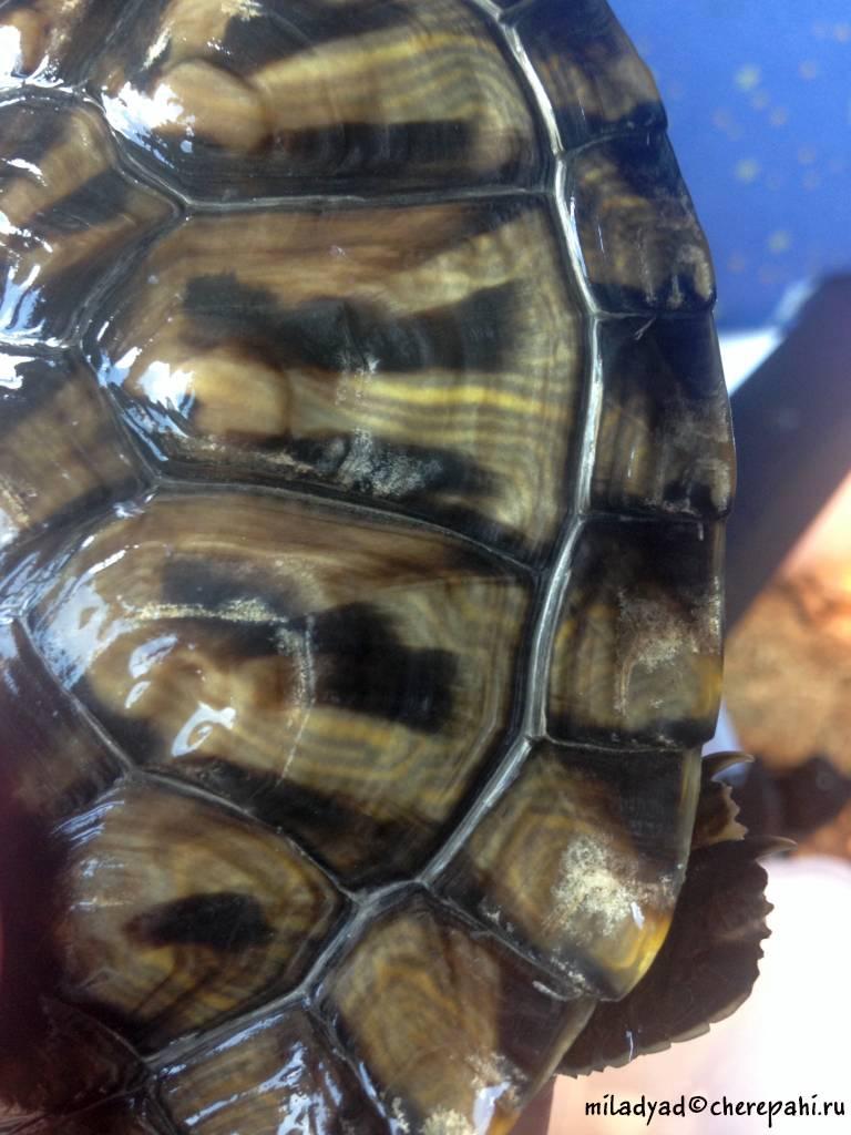 Как ухаживать за черепахой | мои домашние питомцы