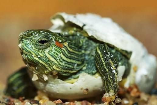 Красноухая черепаха содержание в домашних условиях