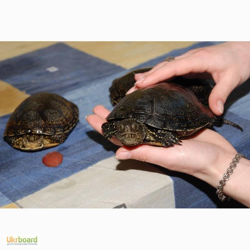 Мускусная черепаха: содержание и уход в домашних условиях