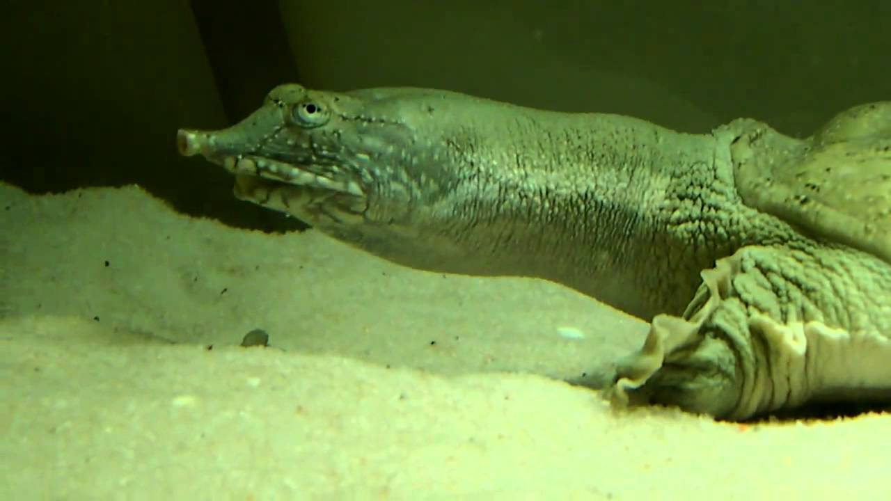 Pelodiscus sinensis (дальневосточная черепаха, китайский трионикс) - черепахи.ру - все о черепахах и для черепах