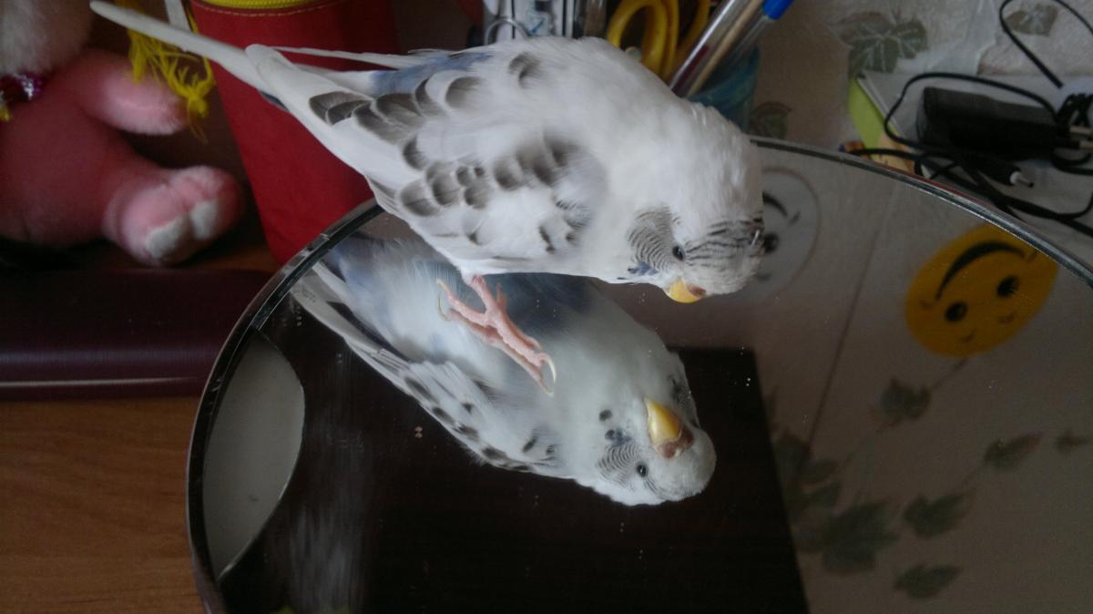 Стригут ли когти волнистым попугаям и как это делается