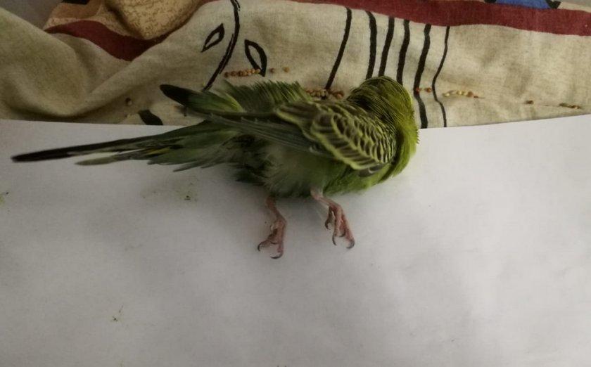 Волнистый попугай дрожит и трясется: причины и что с этим делать