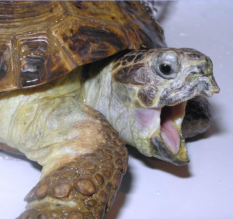 Почему черепаха часто открывает рот. как открыть рот черепахе? распространенные забеливания черепах и способы их лечения
