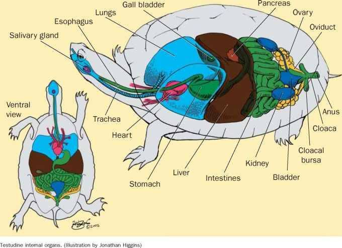 Все о строении тела черепах