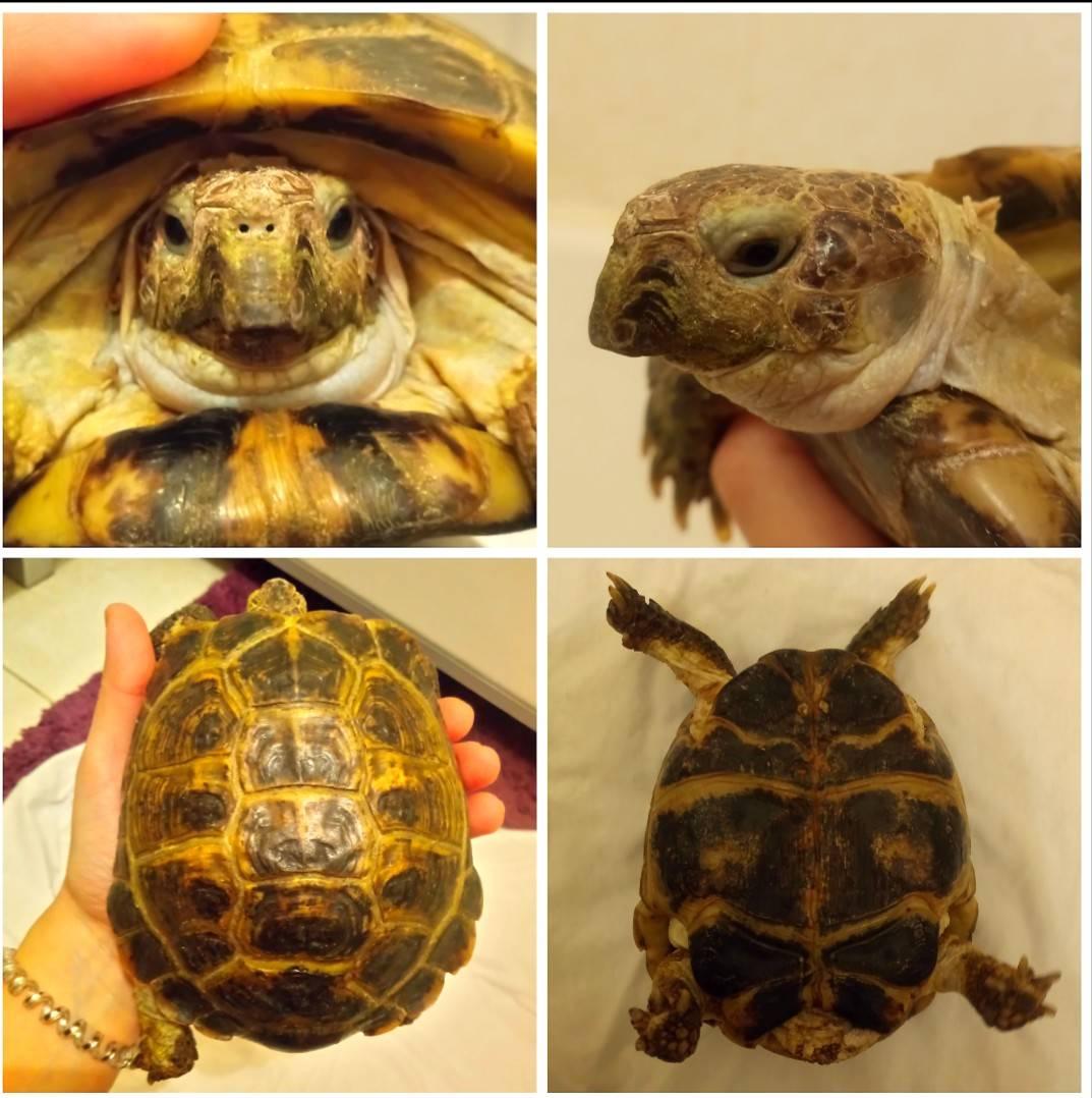 У сухопутной черепахи впали глаза что делать. у черепахи опухли глаза - причины, болезни, лечение