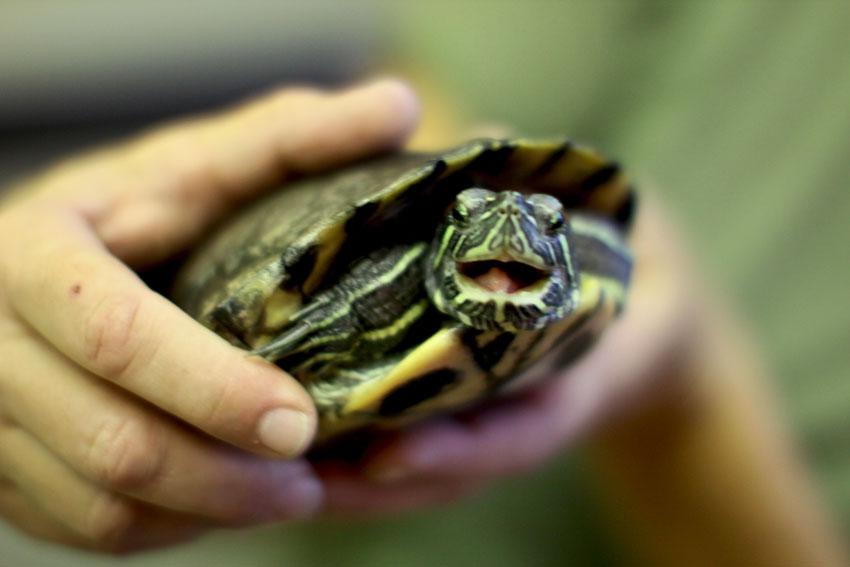 Красноухая черепаха не ест, что делать? черепаха ничего не ест. причины и последствия почему черепашка ничего не ест