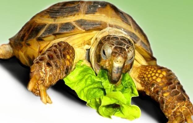 Чем кормить черепаху: правила питания и кормления травоядных и хищных животных в домашних условиях