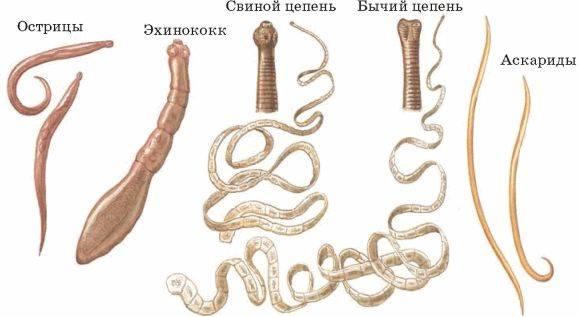 Глисты аскариды у взрослых: признаки, симптомы и лечение