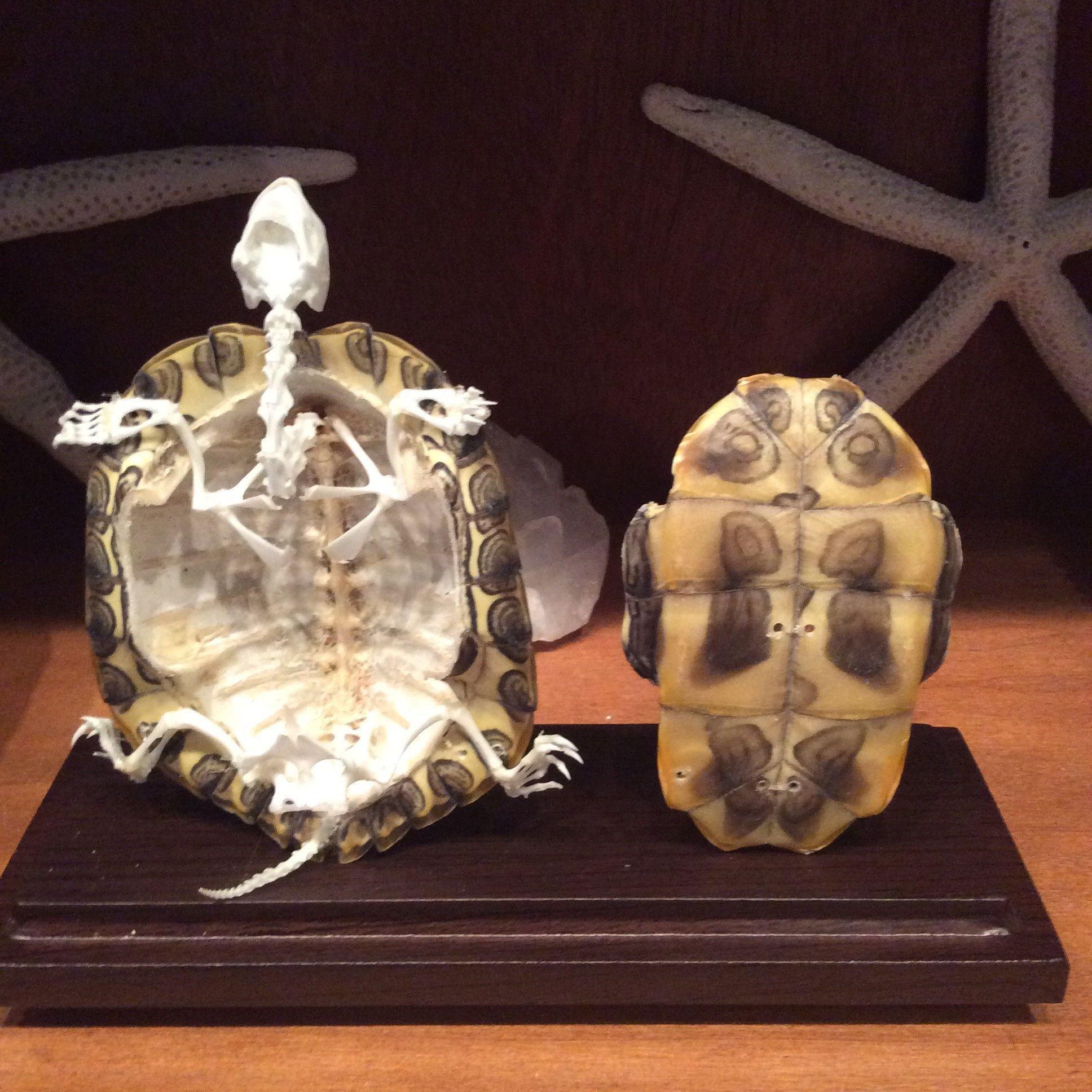 Анатомия черепахи: из чего состоит скелет и панцирь, причины размягчения панцирной части