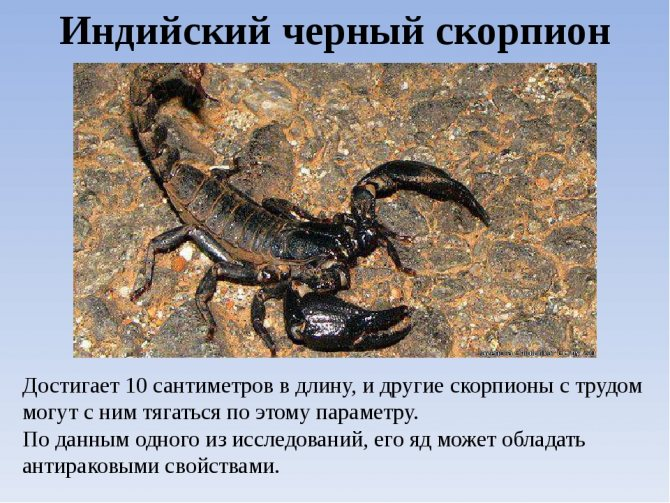 Домашний скорпион