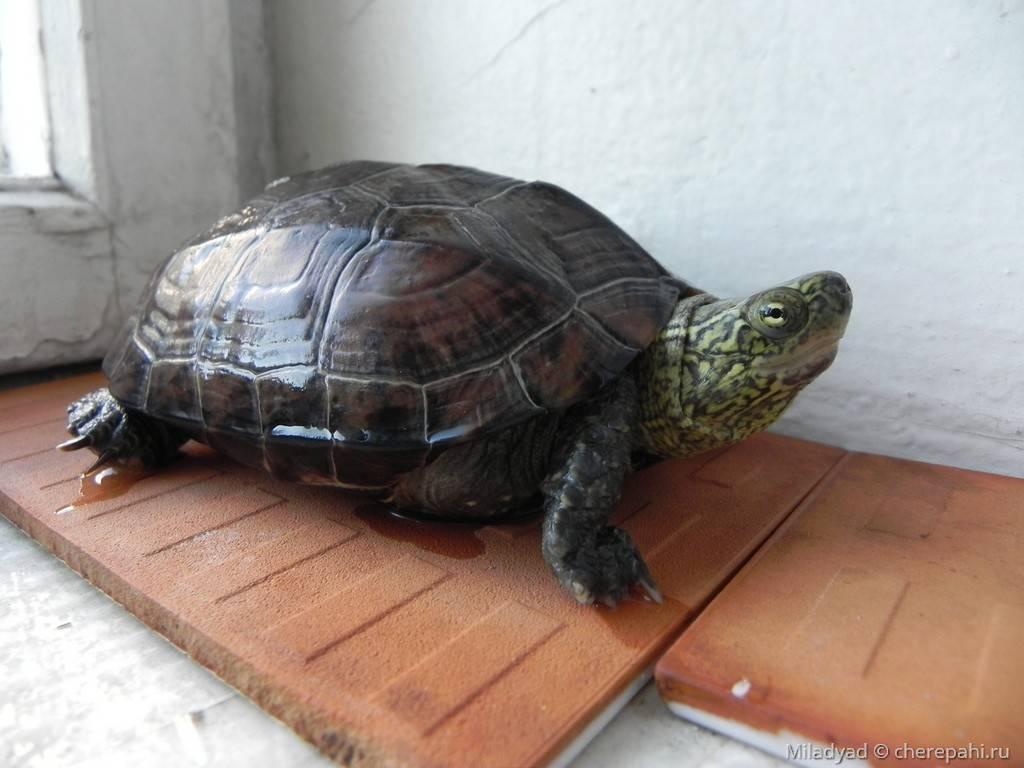 Mauremys sinensis (китайская полосатошеяя черепаха) - черепахи.ру - все о черепахах и для черепах