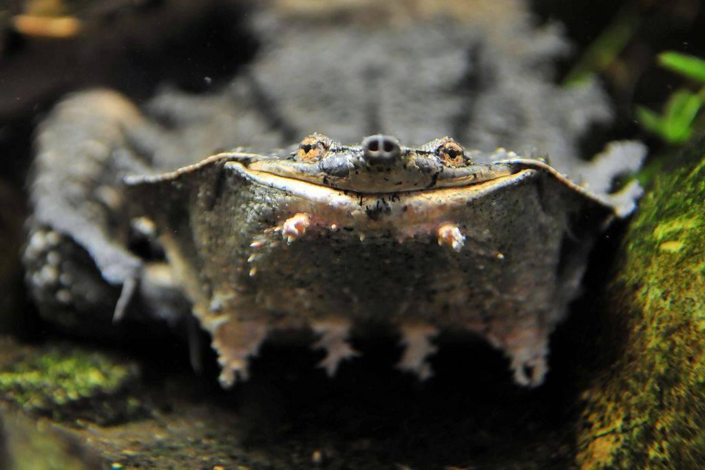 Бахромчатая черепаха — википедия. что такое бахромчатая черепаха