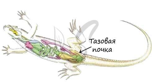 Криптоспоридиоз рептилий