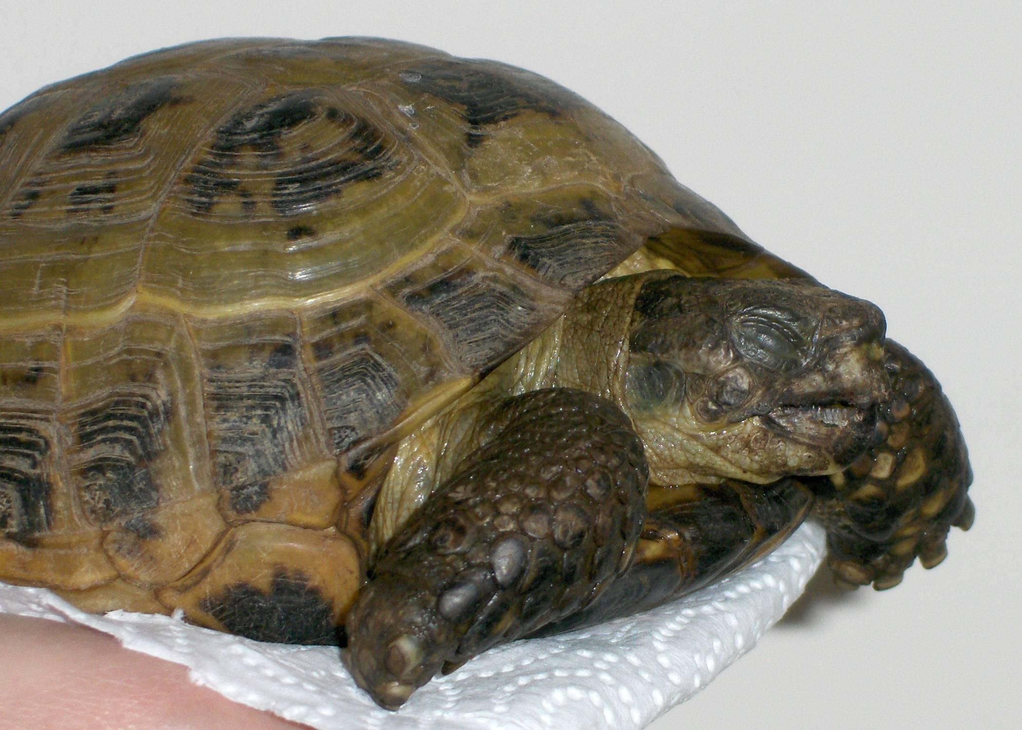 Отит у черепах