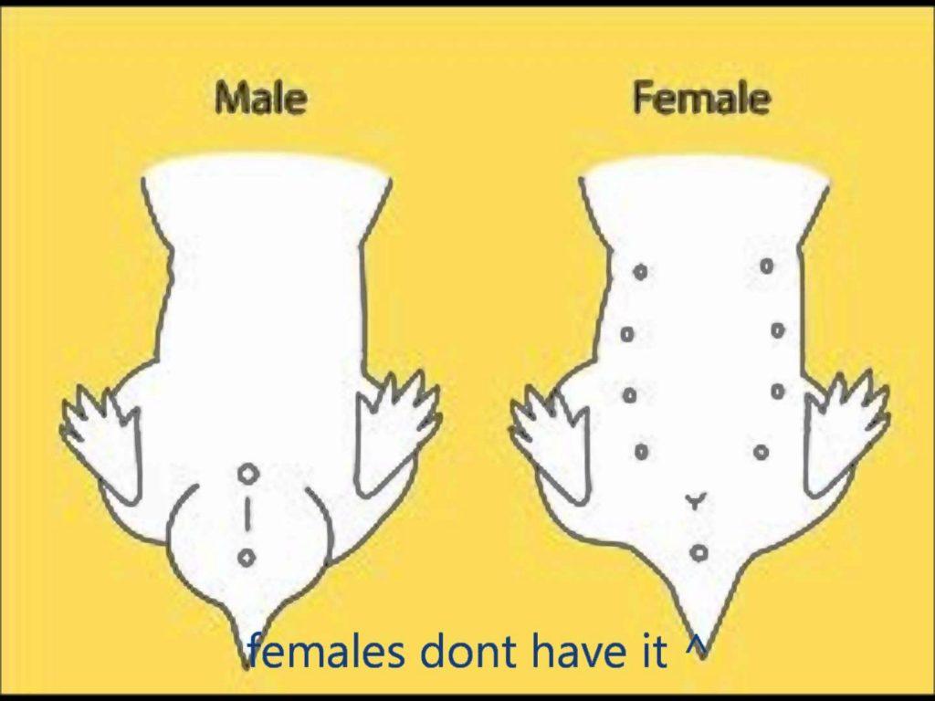 3 основных метода, как определить пол хомяка