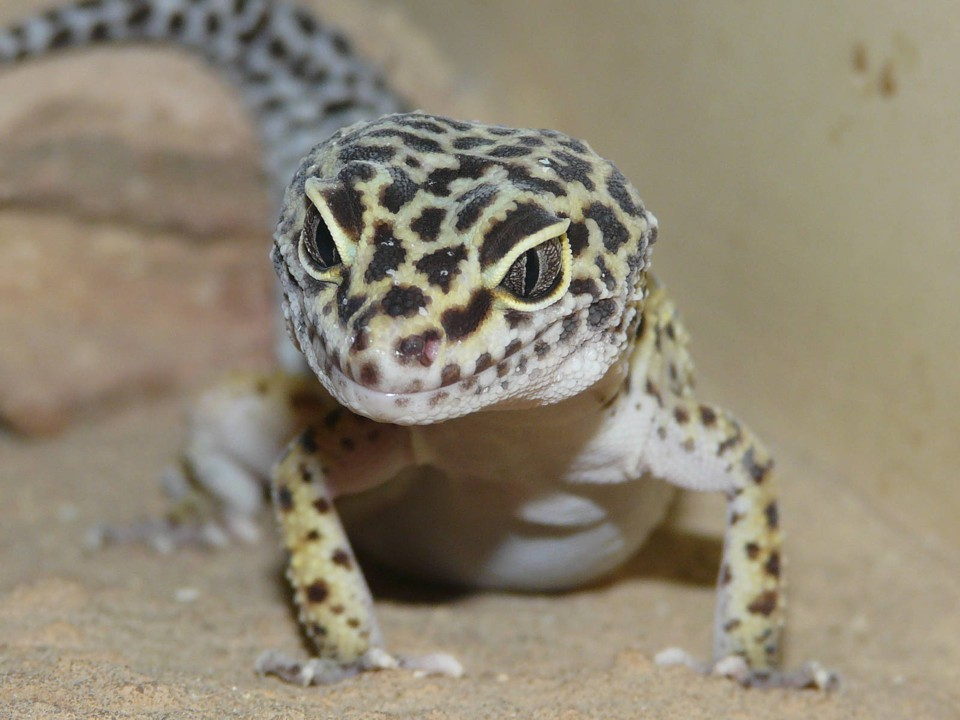 Пятнистый эублефар (Леопардовый геккон)