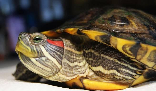 Как лечить черепаху от пневмонии в домашних условиях