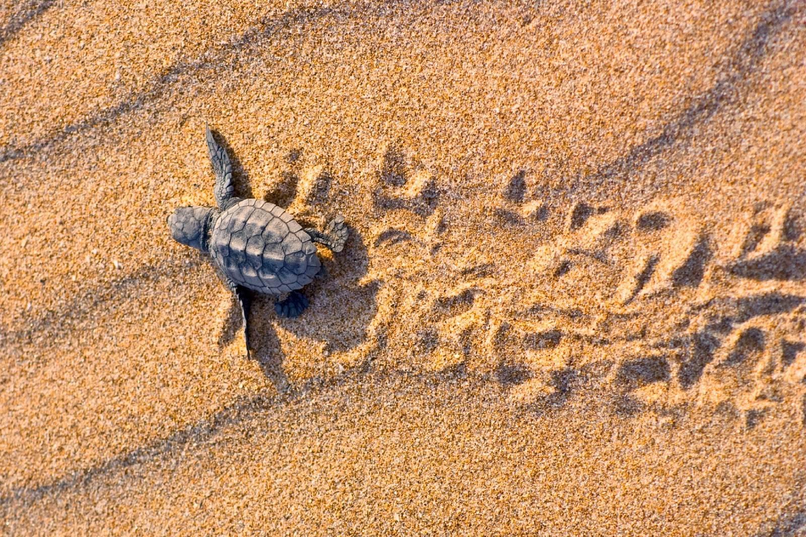 Дождались! на пляже лара на полуострове акамас вылупились первые черепашки в 2019 году