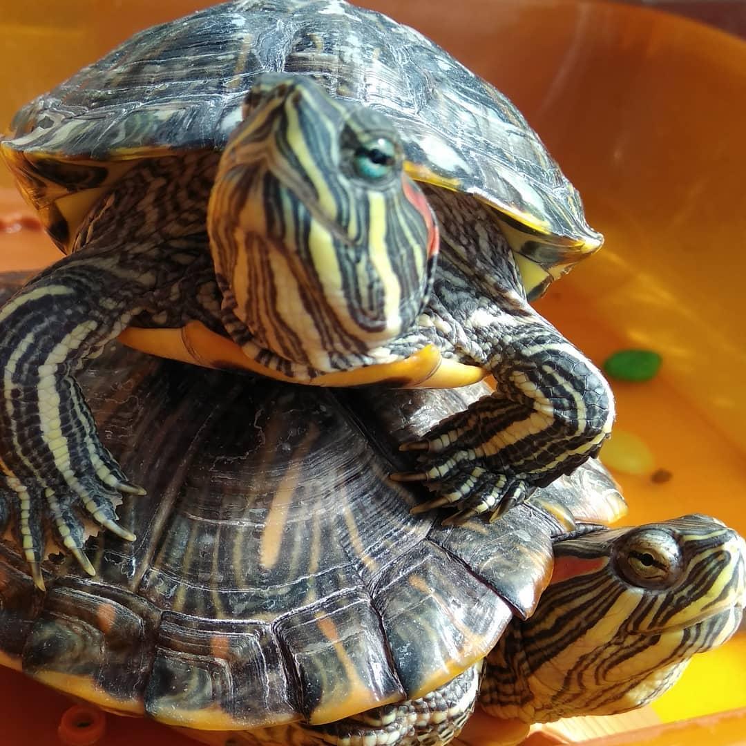 Картинки красноухой черепахой в домашних условиях