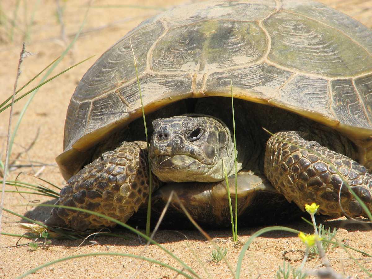 Среднеазиатская черепаха — википедия переиздание // wiki 2