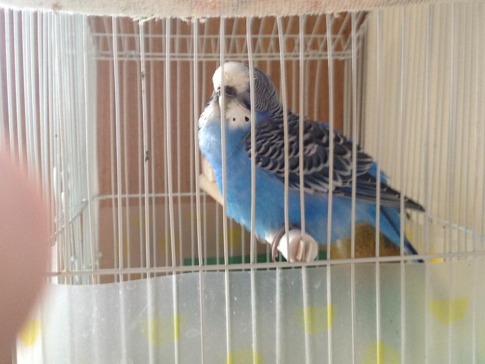 От чего может умереть волнистый попугай в домашних условиях