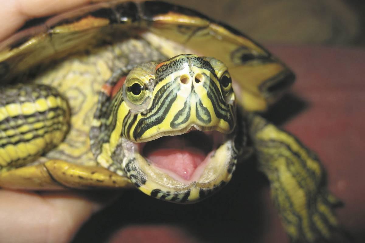Как открыть рот черепахе