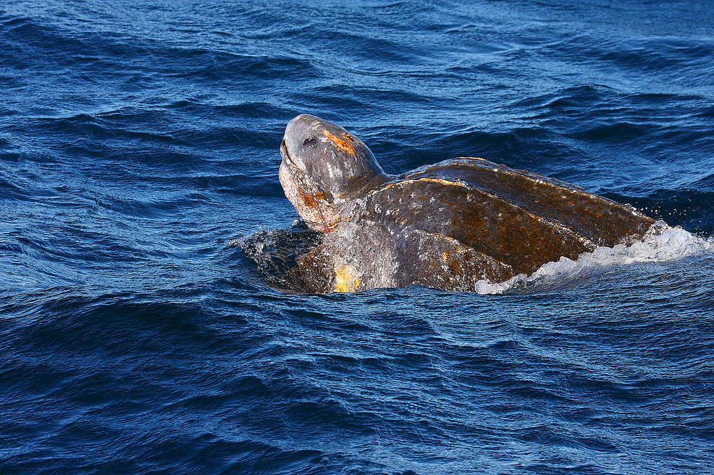 Кожистая черепаха — википедия с видео // wiki 2