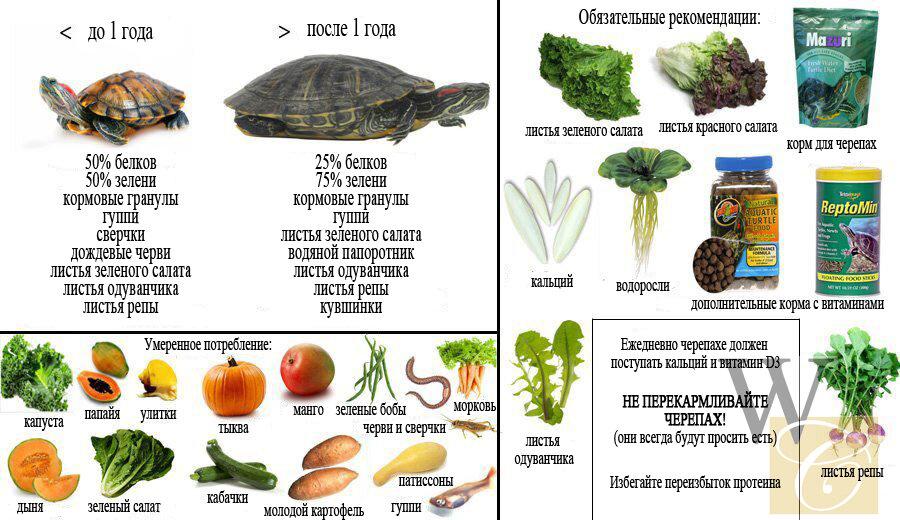 Чем кормить красноухую черепаху в домашних условиях?