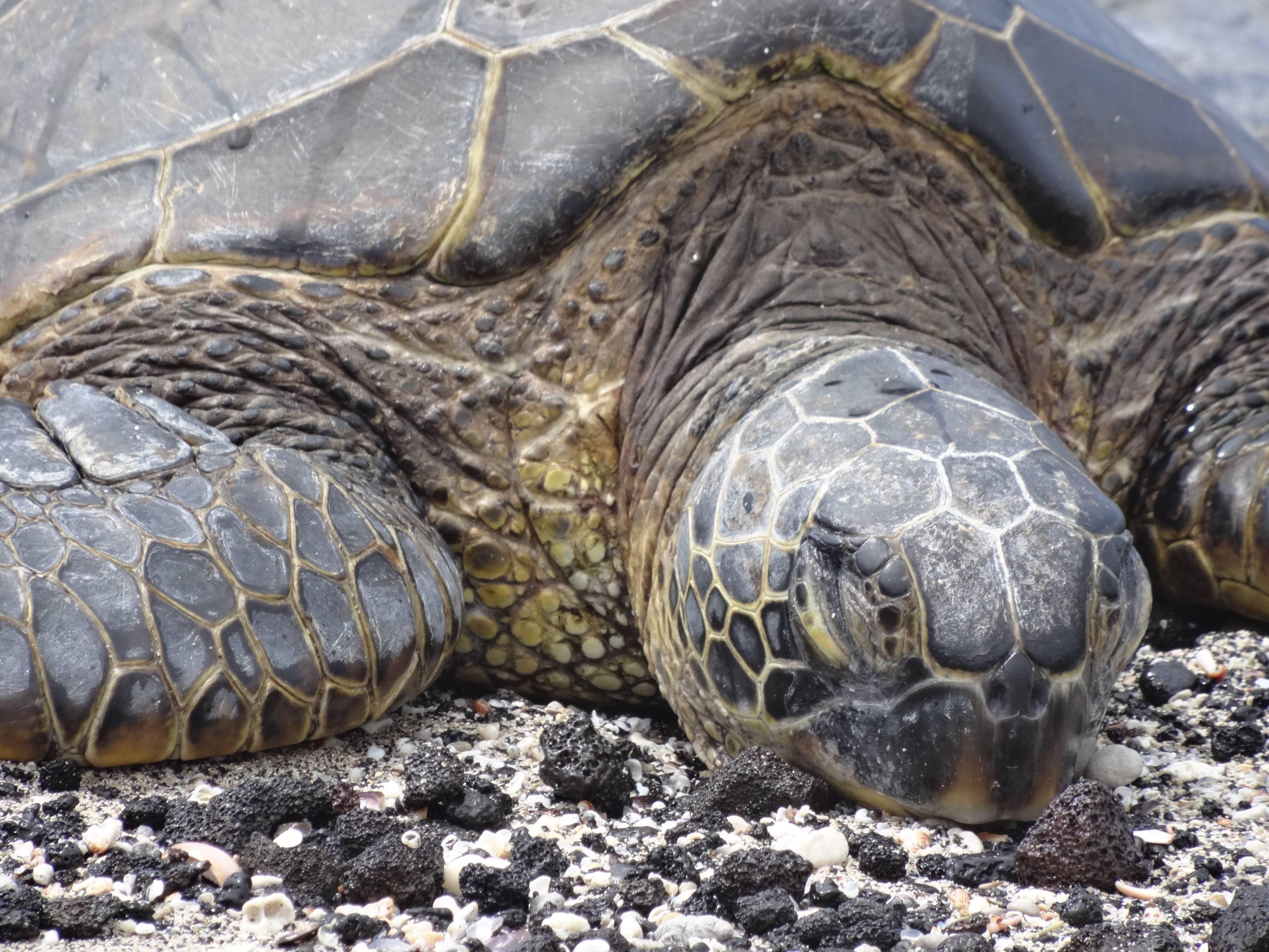 Спячка черепах: условия успешной зимовки