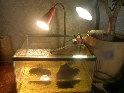 Красноухая  черепаха - запись пользователя лена (leno4ka-leno4ka) в сообществе домашние животные в категории улитки, черепахи, рептилии - babyblog.ru