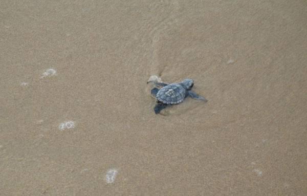Средиземноморская черепаха (греческая)