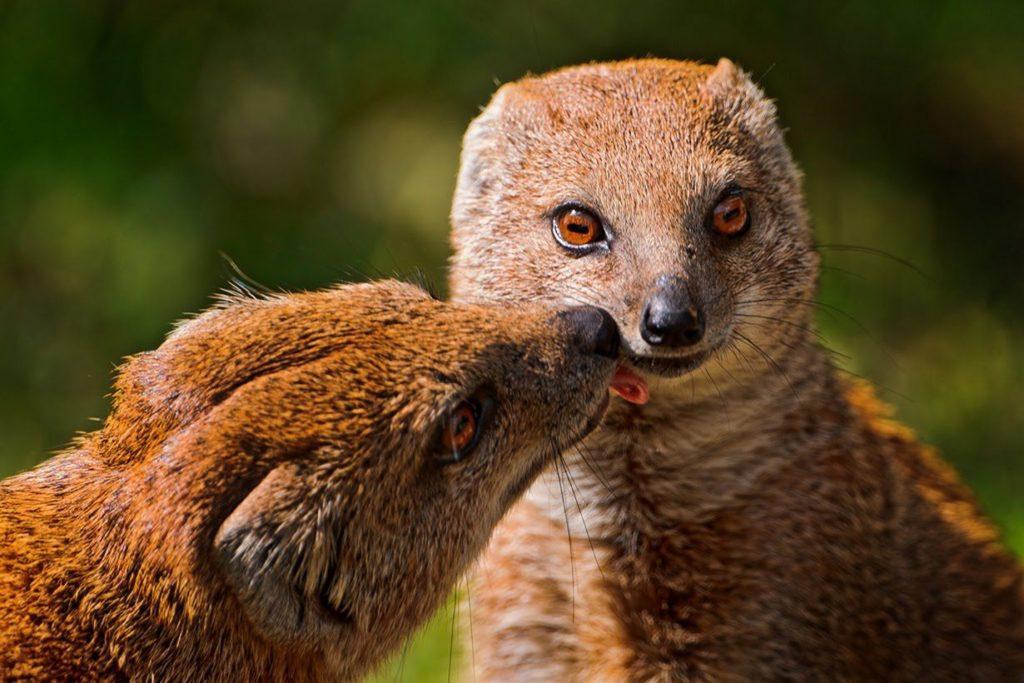 Мангусты – фото, описание, образ жизни в природе