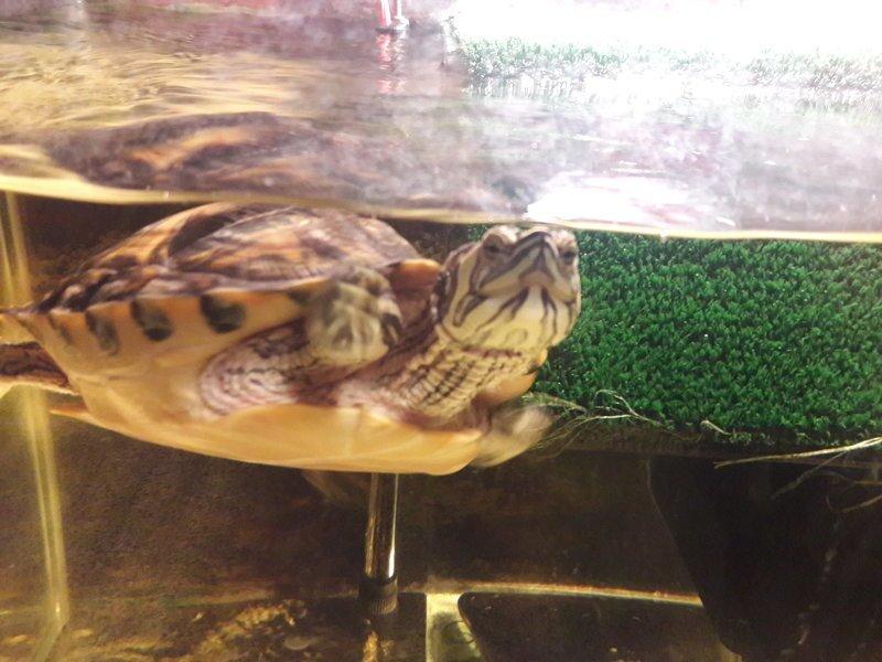 Животные корма в рационе взрослой красноухой черепахи