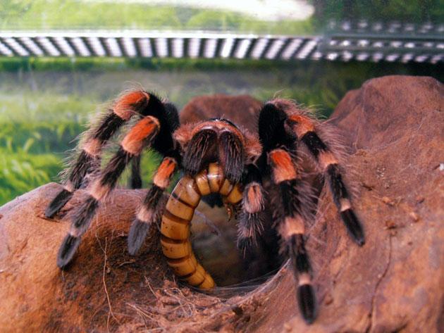 Домашний тарантул
