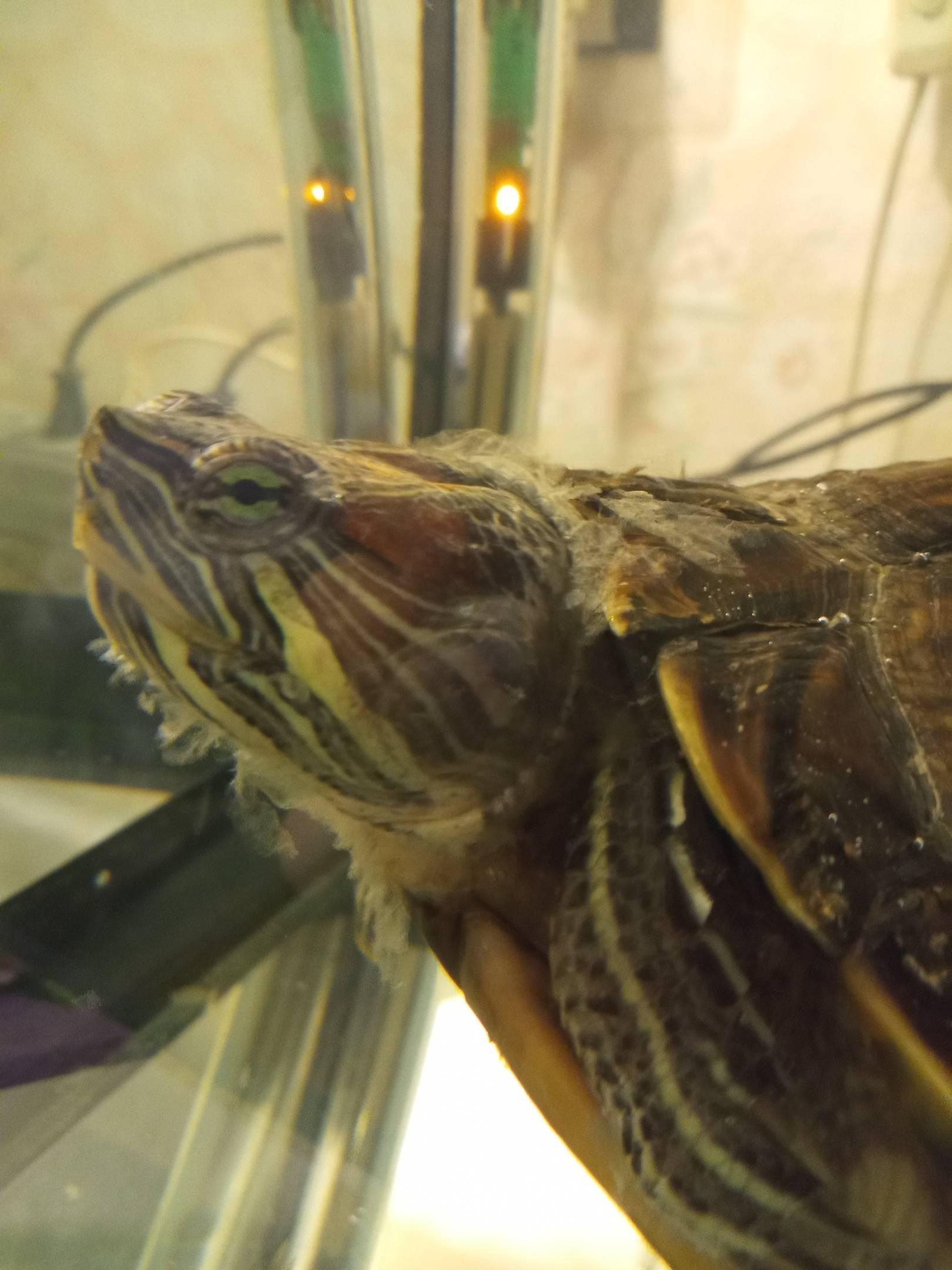 Красноухая черепаха воспаление ушей