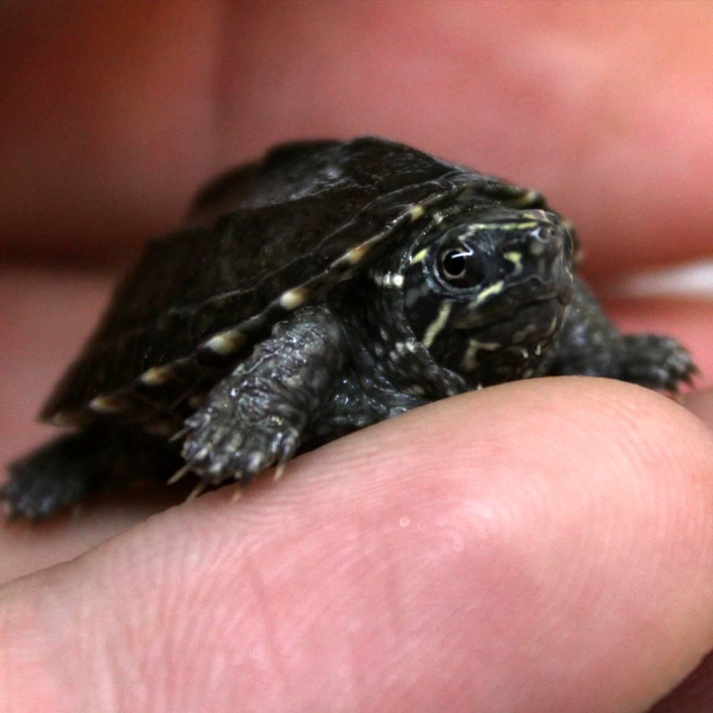 Домашняя мускусная черепаха