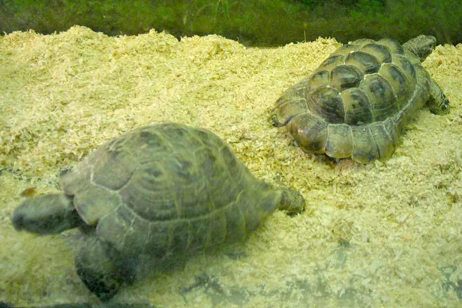 Средиземноморская черепаха никольского (testudo graeca nikolskii) в абхазии - pdf free download