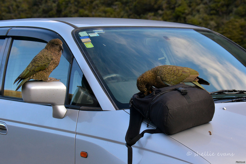 Ученые установили, что попугаи кеа могут заразительно смеяться