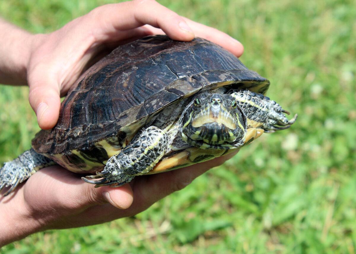 Решили завести черепаху. как выбрать и что учесть?